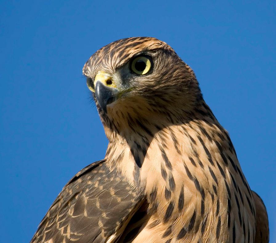 birdwatching-azores
